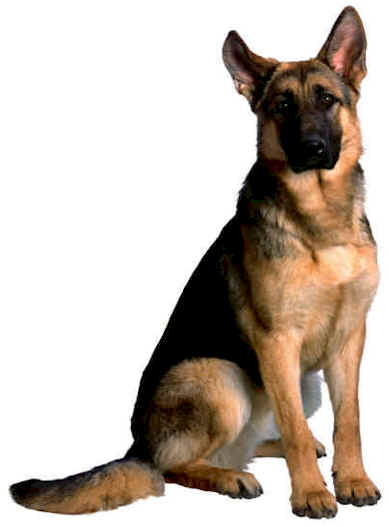 german_shepherd